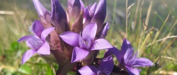Lenk Bergbahnen - Blumenwiese